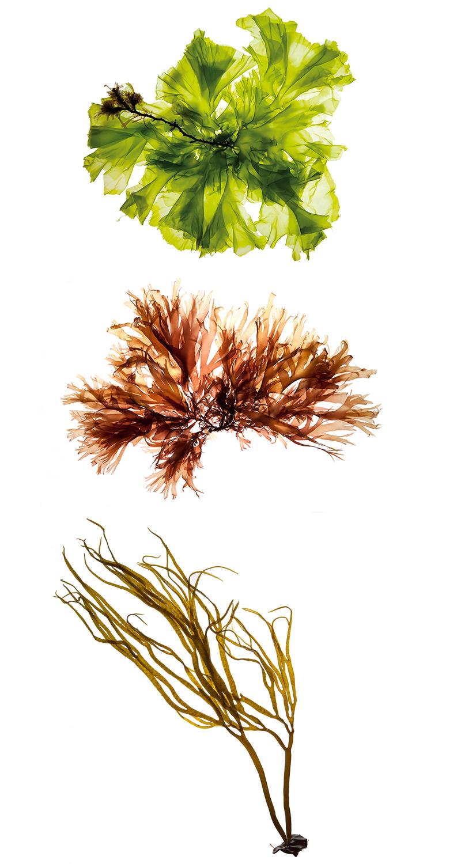 Algues Olmix